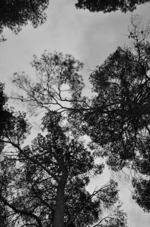 Pine trees in a forest. Black and white. photo