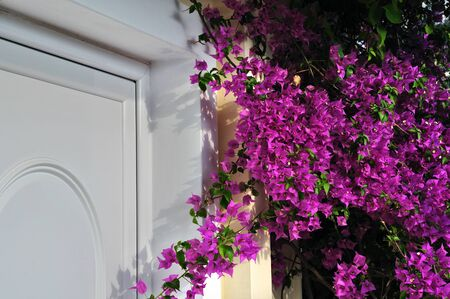 Violet bougainvillea flowering plant in the springtime. Blooming flowers. photo