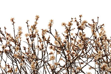 almond bud: Almond tree branches with flowers on white background. Spring season abstract.