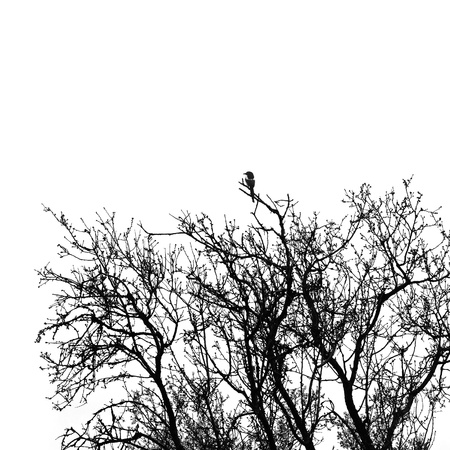 thriller: Magpie pica bird perching on almond tree branches. Black and white. Stock Photo
