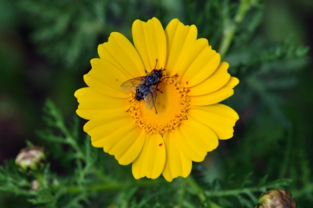 warble: Black fly on a yellow flower. Spring nature background. Stock Photo