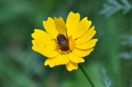 Beetle and tiny red velvet mites on yellow blooming flower photo