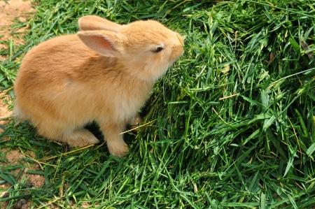 lagomorpha: Bunny rabbit feeding on grass
