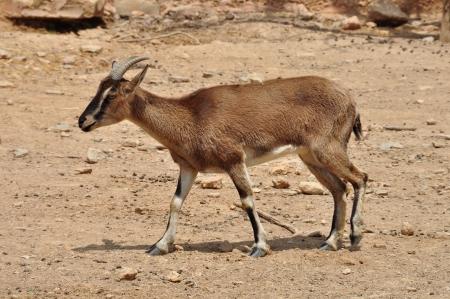 cabra montes: Creta salvaje monta�a cabra con cuernos curvados en el medio natural