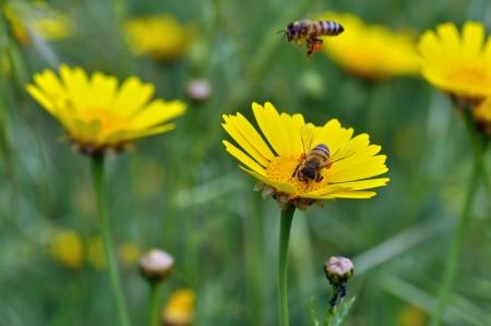 miel et abeilles: Les abeilles collecte de pollen dans un champ de fleurs en fleurs