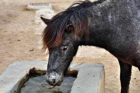 trough: Skyrian mountain pony drinking water from a trough