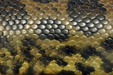 snakeskin: Yellow anaconda snake skin covered in textured scales animal background closeup.