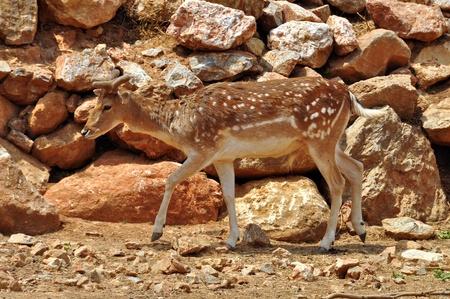 fallow deer: Fallow deer with growing antlers