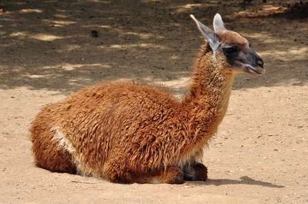 guanicoe: Guanaco lama guanicoe camelid animal resting on the ground on sunny day.