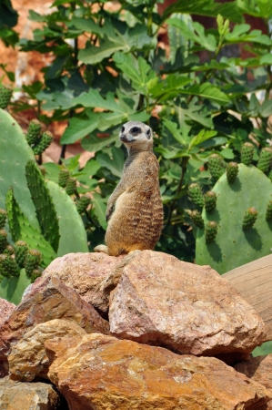 Meerkat upright on rear legs photo