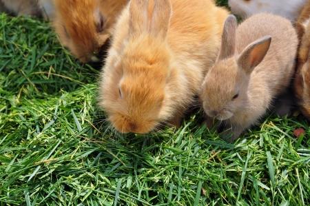 lagomorpha: Rabbit family feeding on grass