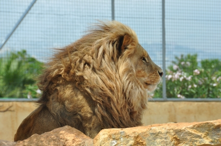 lions rock: Southwest African lion adult male in captivity. Wild animal behind rocks.