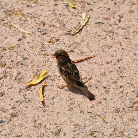 passerine: Piccolo passero marrone uccello passeriforme nutrono di semi. Animale background. Archivio Fotografico