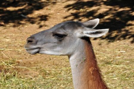 guanaco: Guanaco lama guanicoe camelid animalhead closeup.