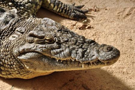cocodrilo: Primer plano de cocodrilo del Nilo. Gran fondo animal salvaje reptil.