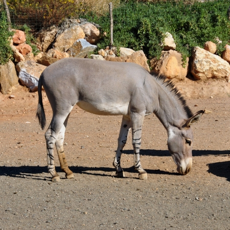 wild donkey: African somali wild ass with zebra stripes on the legs. Endangered animal, high risk of extinction in the wild.