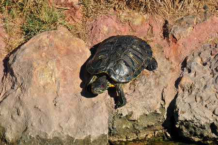 invasive species: Red eared slider turtle climbing on rocks. Amphibian reptile animal in natural environment.