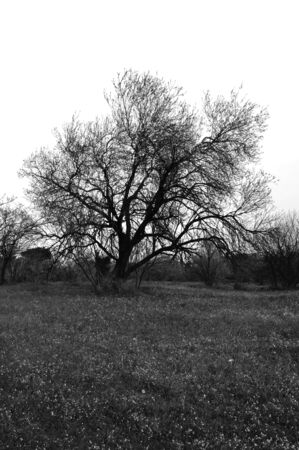 Almond tree in grass field. Black and white. photo