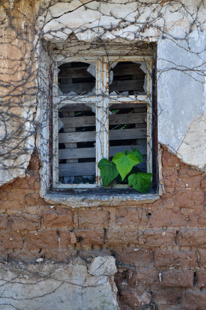 deteriorating: Green ivy leaves growing through broken rusty window of abandoned house. Textured crumbling wall background.