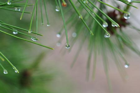 minimal: Raindrops on pine tree needles abstract nature background.