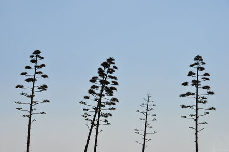 century plant: Agave tree century plant with flowers abstract silhouette against blue sky. Stock Photo