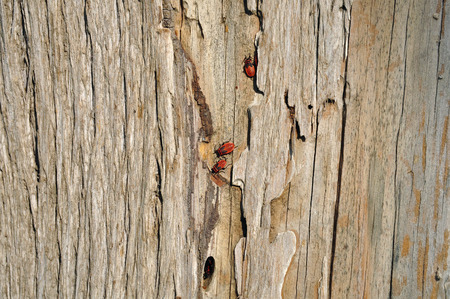 sheltering: Firebug insects sheltering in tree trunk bark cleft. Wood background texture and red bugs.