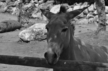 somali: Somali wild ass endangered animal portrait. Black and white.
