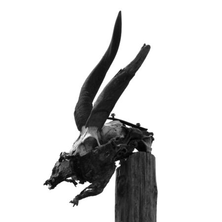 beast ranch: Antelope skull with horns on wooden pole. Black and white.