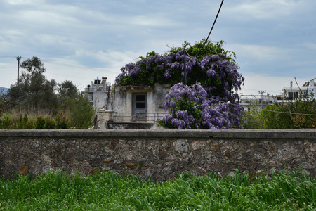 overrun: Plant with purple flowers growing on abandoned house. Stone wall and green grass under april sky.