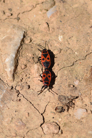 copulation: Two firebugs mating and walking backwards. Spring nature fire bug red insects macro.