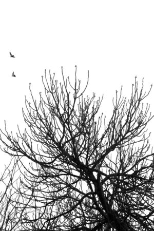 birds in tree: Fig tree branches and flying birds. Black and white.