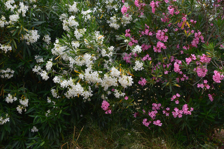 dafne: Nerium oleander daphne arbusti con fiori rosa e bianchi. Pianta velenosa in fiore. Archivio Fotografico