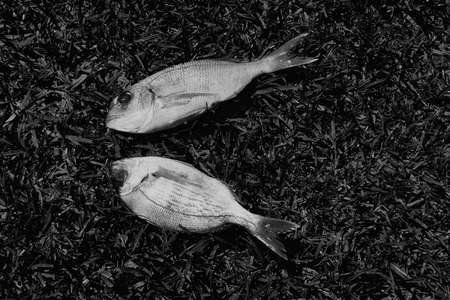 goatfish: Two bream fish on grass background. Black and white.