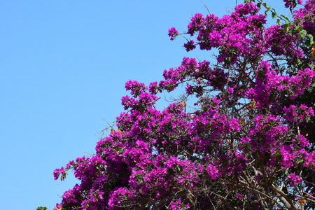 clambering: Purple bougainvillea flowers in the summer. Clambering plant against blue sky. Stock Photo