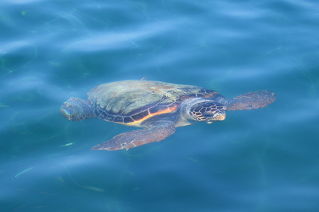 animal species: Caretta caretta loggerhead sea turtle swimming underwater in Zakynthos Greece. Endangered animal species.