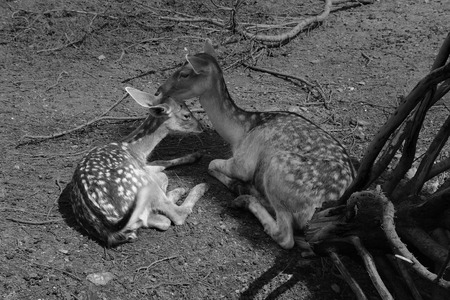 mother and baby deer: Fallow deers mother and buck mammal animals. Black and white.