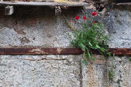 hormig�n: flores de amapola que crece a trav�s de metal oxidada y agrietada pared de la casa abandonada.