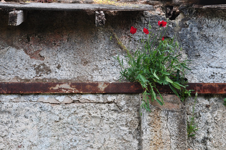 ramshackle: Poppy flowers growing through rusty metal and cracked abandoned house wall. Stock Photo