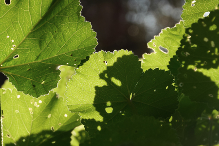 blight: Mallow plant leaf with tiny holes. Closeup under green leaves abstract light and shadows on sunny day.