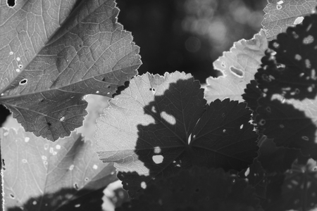 black shadow: Mallow plant leaves with tiny holes. Leaf closeup abstract light and shadow black and white.