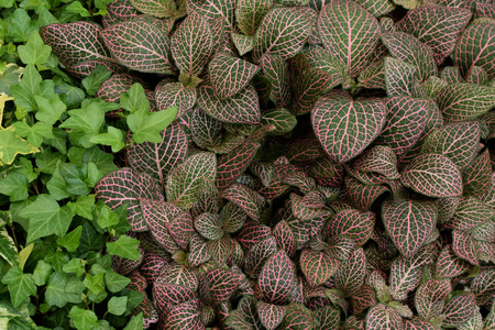 acanthaceae: Fittonia albivenis nerve plant painted net leaf with pink veins pattern and green ivy. Groundcover foliage nature background.