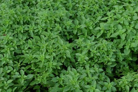 kulinarne: Basil leaves herbal culinary plant natural background. Zdjęcie Seryjne