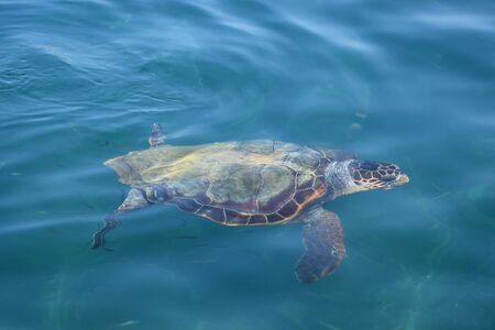 animal species: Caretta caretta loggerhead sea turtle in natural habitat. Endangered animal species.