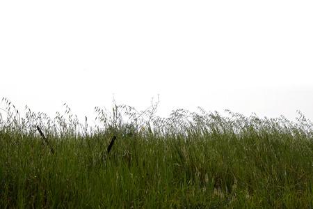 grassfield: Green grass plants vegetation nature on white background.