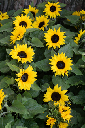 helianthus: Helianthus sunflowers in bloom. Springtime nature background.