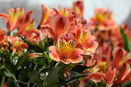 plant nature: Alstroemeria peruvian lily flowering plant in bloom. Springtime nature background. Stock Photo
