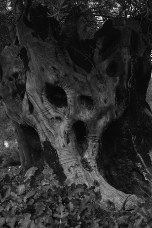 Hollow tree screaming nature. Old trunk looks like spooky evil monster face black and white.