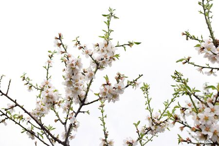 Almond tree branches with raindrops on flowers. Springtime nature.