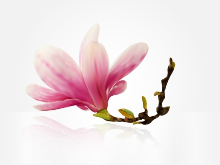 magnolia flower: Vector spring magnolia flower Illustration