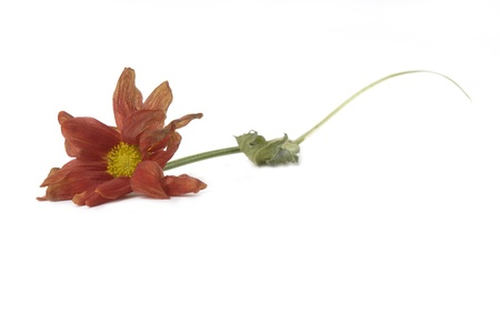 wilted flower fall on the floor isolated white background  Stock Photo